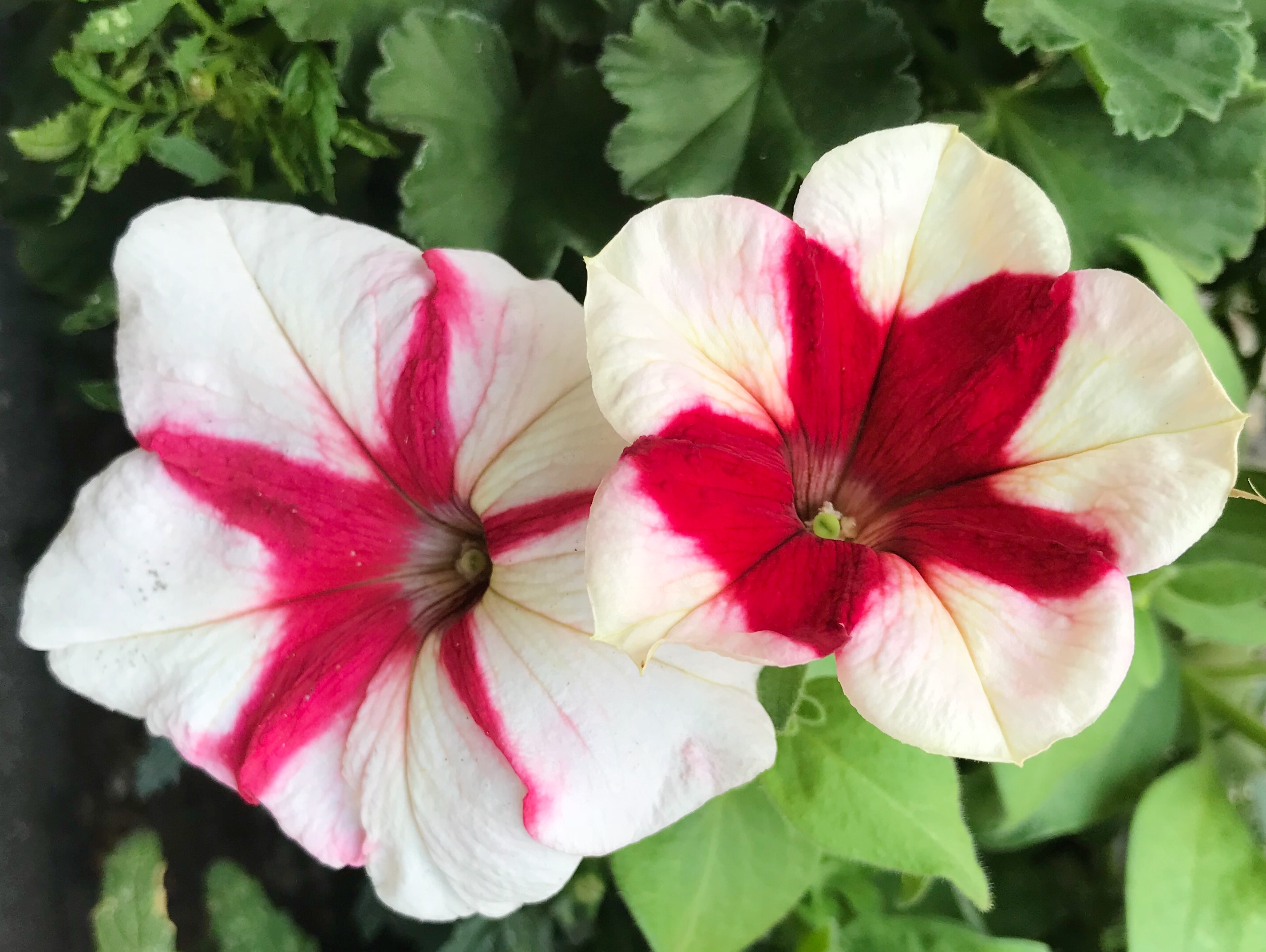 Red and white petunias